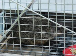 groundhog_in_trap_web